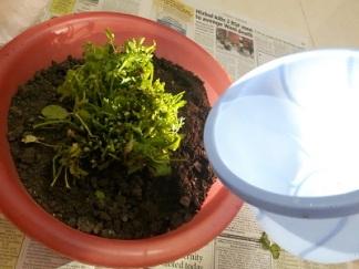 foodtravelandmakeup-kitchen-garden-dhaniya-diy-2