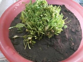 foodtravelandmakeup-kitchen-garden-dhaniya-diy